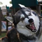 犬の威嚇は鳴き声やポーズでわかる?種類とその意味を紹介!
