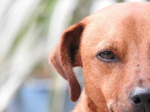 犬の白内障の予防はどうする?目薬やサプリは効果ある?