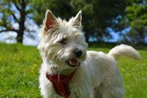 cairn-terrier-1083165_640