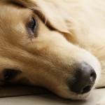 犬が吐く時は注意!黄色い泡の原因はなに?