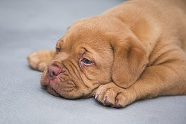 dogue-de-bordeaux-1047522__180