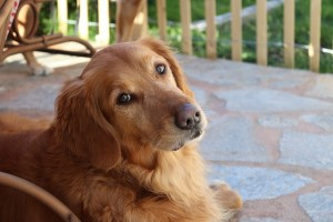 犬が寿命を迎える直前の症状とは?