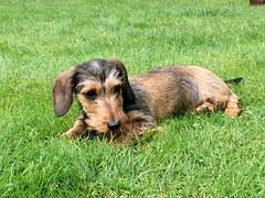 miniature-dachshund-944323__180