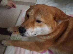 犬は耳で気持ちがわかるってホント?倒す時はどんな感情?