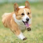 犬のミックスはどれくらい寿命が短いの?遺伝子が関係していた!