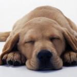犬の貧血に効く食べ物?レバーは改善に効果的?