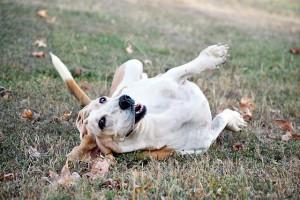 犬の外耳炎が治らない!原因や効果的な治療法とは?