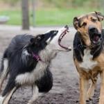 犬の性格で凶暴な犬種は?ランキングを紹介!