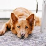 犬の発熱!どう対処する?熱の測り方や下げ方は?