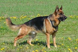 german-shepherd-405503__180