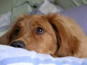 golden-retriever-744045_640
