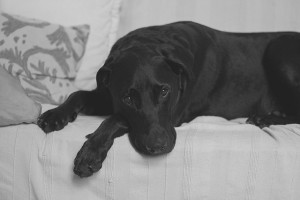 labrador-retriever-1149395_640