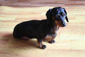 犬がヘルニアになった!ステロイド治療は本当に必要?
