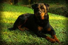 rottweiler-684880__180