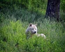 wolf-1104002__180