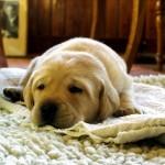 犬の熱が下がらない!考えられる原因や効果的な下げ方は?