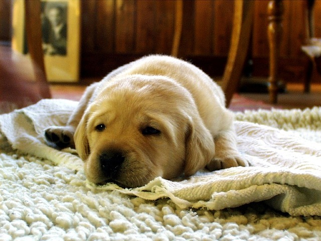 yellow-labrador-retriever-750098_640