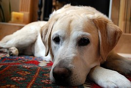 yellow-labrador-retriever-750760__180