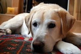 yellow-labrador-retriever-750760__180