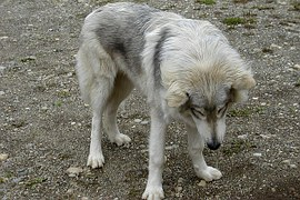 young-american-wolf-53522__180