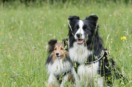 border-collie-1156818__180