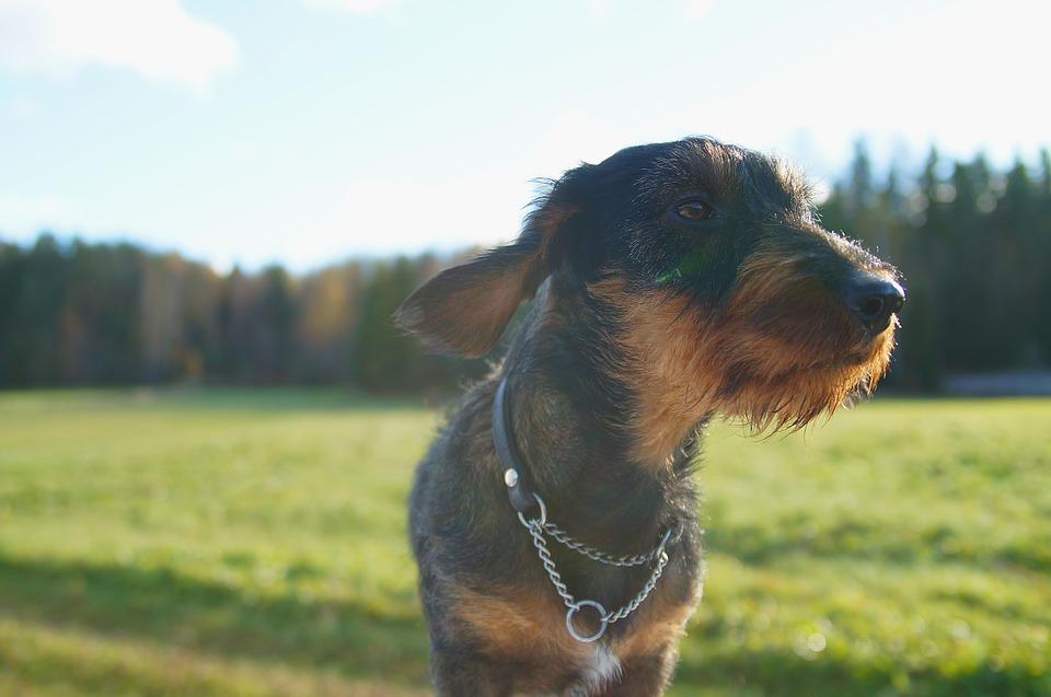 dachshund-811651_960_720