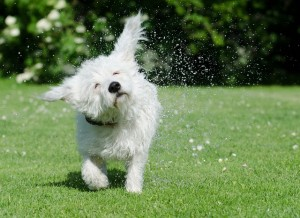 dog-shakes-itself-750625_640