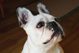 french-bulldog-1104365__180