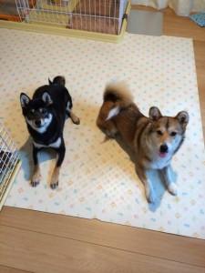 柴犬とコーギーのミックスがかわいい!その魅力を紹介!