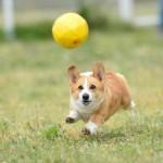 犬がボールを持ってこない!遊びながらしつける方法はある?