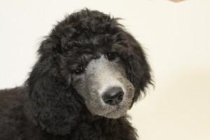 puppy-681887_960_720