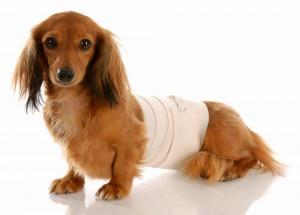 犬の椎間板ヘルニア!名医のゴットハンドぶりがヤバいw感動の動画あり