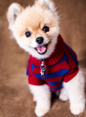 stock-photo-27759561-cute-trimmed-pomeranian-dog-with-sweater