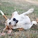 犬のフケ!痒みを伴うかさぶた状の場合の対処は?
