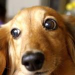 犬の血尿!オスのダックスフンドの場合考えられる原因は?