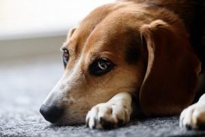 beagle-1248768_960_720