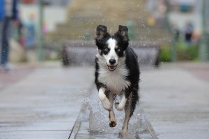 border-collie-696673_1280
