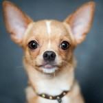 犬の耳垢!チワワの場合かかりやすい病気や掃除方法は?