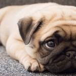犬の全身麻酔は年齢制限がある?後遺症の危険性とは