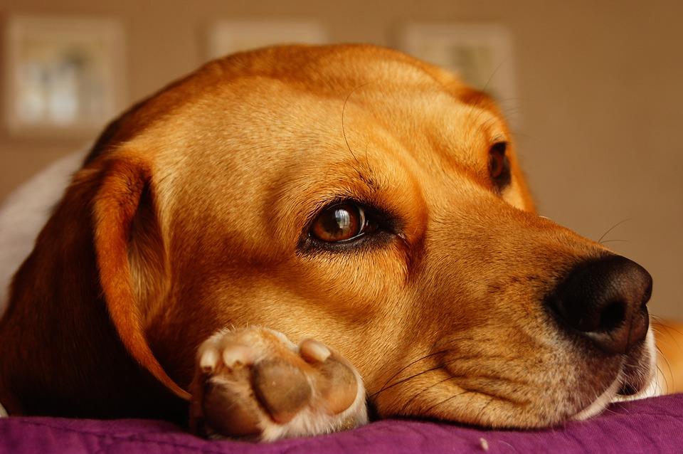 dog-1264667_960_720
