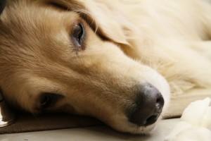 犬が脳腫瘍と診断された!手術の費用はどれくらいかかる?