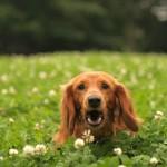 犬の虫除けでおすすめは何?ハーブやアロマの効果とは?
