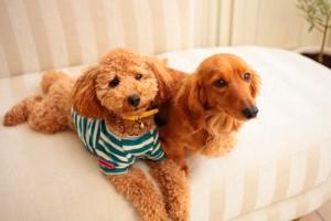 室内犬で飼いやすいのは?人気ランキングを画像で紹介!