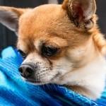 犬が脳震盪を起こした!後遺症が残ったり死の可能性は?