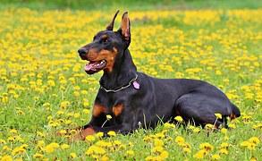 大きい犬種5