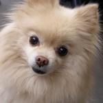 ポメラニアンの成犬の大きさは?予測する3つの方法を紹介!
