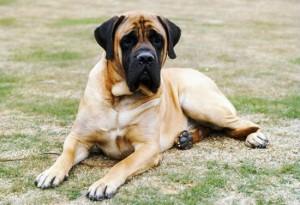 大きい犬種6