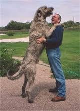大きい犬種10