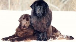 大きい犬種12