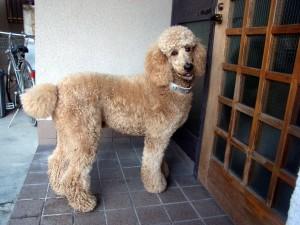 大きい犬種20